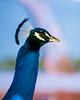 Many Peacocks roam the grounds...