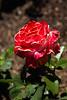 Sahuaro Park - Roses 2014-03-16-101