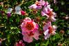 Sadler's Wells Rose