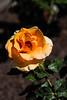 Sahuaro Park - Roses 2014-03-16-105
