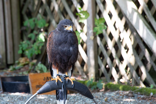 Medieval Day 2018 at The Raptors - Cowichan Valley, Vancouver Island, BC, Canada