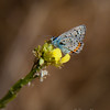 Acmon Blue Butterfly, Icaricia acmon