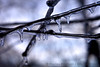 Icicles Frozen on Branch