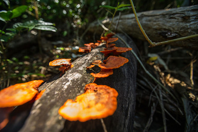 Red Bracket Fungus - Dunk Island