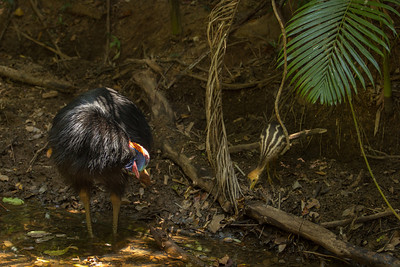 Male Cassowary and Chick - Daintree National Park
