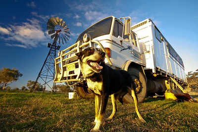 Drover's Dog  Tambar Springs - NSW Travel Image