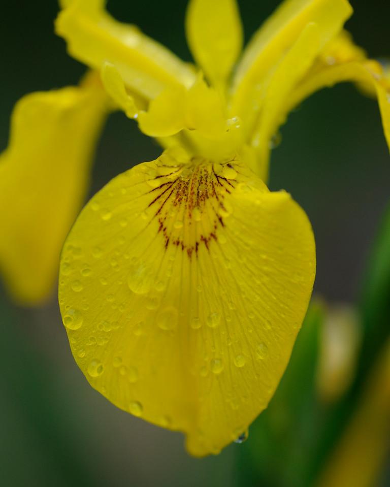 Iris Yellow 1a_DSC3312