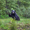 SOLD.  Waving Black Bear, Columbia Icefields Parkway, Alberta, Canada