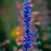 Blue Flower | Gilgal Garden