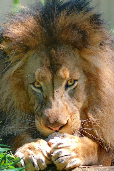 Male Lion at Washington D.C. Zoo