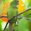 white-eyed parakeet (conure)<br /> Miami, FL