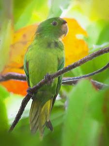 white-eyed parakeet (conure) Miami, FL