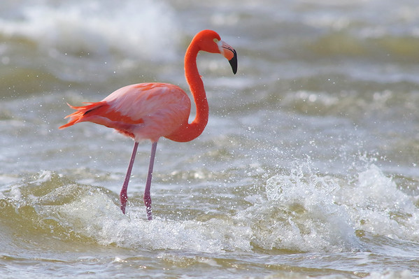 rockin' waves & a Flamingo (non-captive, non-banded)