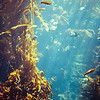 Swimming through the Kelp Forest, Monterey Bay Aquarium