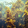 Kelp Forest, Monterey Bay Aquarium