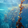 Kelp near the surface, Monterey Bay Aquarium