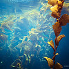 Kelp forest near the surface, underwater photography