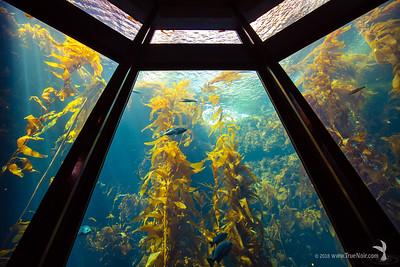Kelp forest at the Monterey Bay Aquarium, lookin up