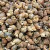 Whelk, Buccinum Undatum, Commercially Harvested, Iceland