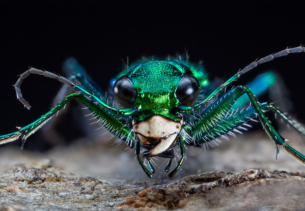 Six-spotted Green Tiger Beetle Cicindela sexguttata Despite its name, the six-spotted tiger beetle might have no spots-or as many as four white spots along the posterior edge of each wing cover. This half-inch-long, iridescent green or blue-green insect has conspicuous sickle-shaped mandibles (jaws) and large, bulging eyes on the side of its head.
