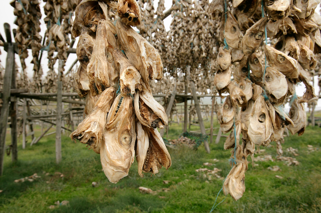 Drying Codfish Heads, Olafsfjordur, Iceland