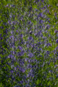 Violet Vibration