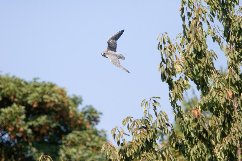 Peregrine falcon at Seattle Zoo, handheld ... and OOF<br /> Lens: Canon 70-200mm f/2.8L IS with 1.4X TC (both rented)