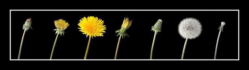 Dandelion Sequence.