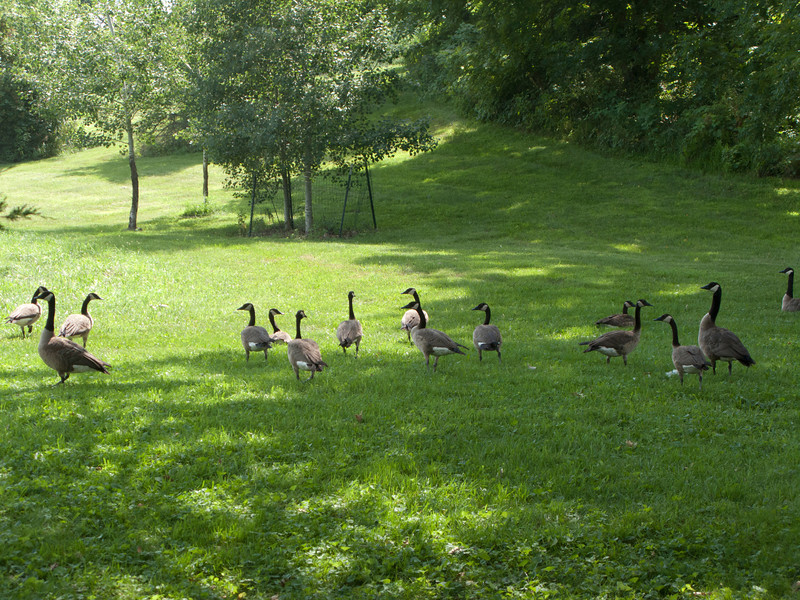 USA, Wisconsin, Spring Green, Frank Lloyd Wright compound, Taliesin Geese on the Grounds