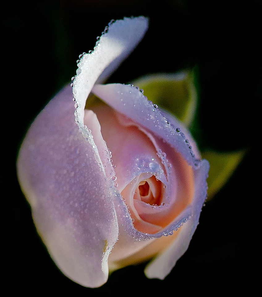 Pink rose with dew drops captured early morning