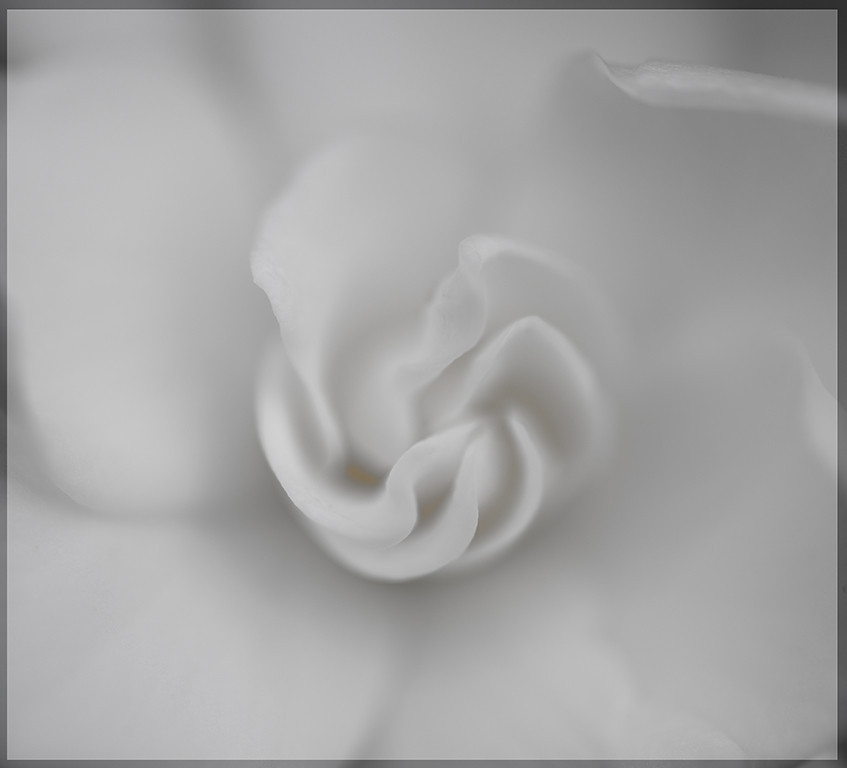 Comellia flower in bw tones.