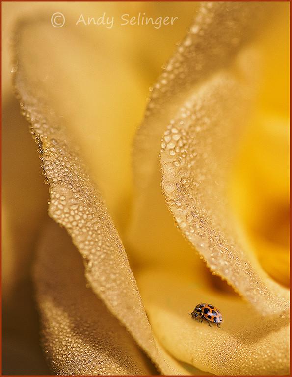 A ladybeetle inside a rose