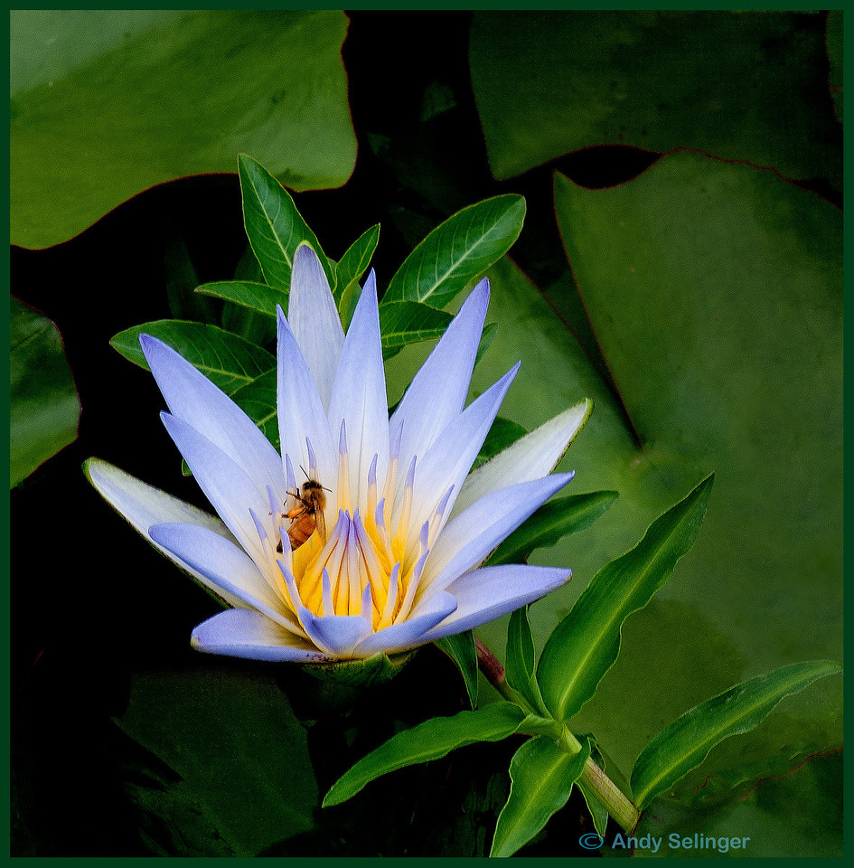 A water lilly in a dam with a bee.