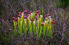 Pitcher Plant, Yellow Marsh Preserve, FL