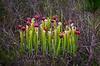 Pitcher Plant, Yellow Marsh Preserve, FL