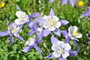 Columbines in Colorado reflect the blue sky and snow-capped peaks.