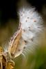 Autumn milkpod in bloom