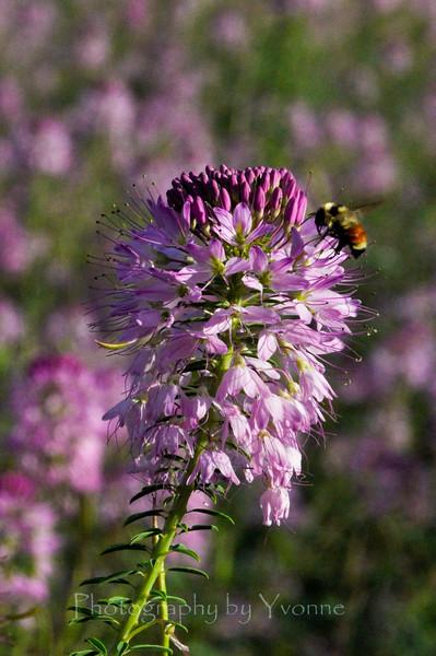 bee, purple flowers