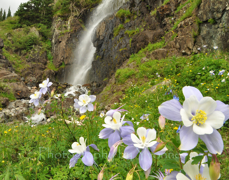 Columbines flourish near a waterfall near Silverton Colorado