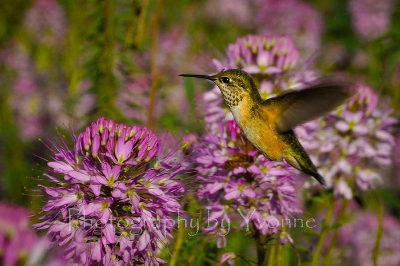 hummingbird, purple flowers