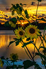 Sunflowers at Sundown V
