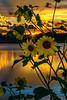 Sunflowers at Sundown V