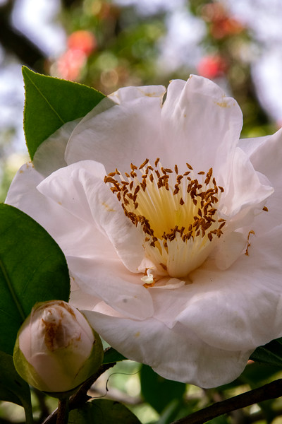 Camellia, photographed in NW Panhandle of Florida April 2019