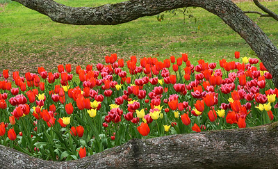 TULIPS AIRLIE GARDENS
