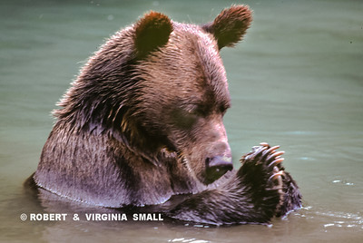 YOUNG GRIZZLY BEAR AT PRAYER ON A SUNDAY MORNING (See Journal Notes Gallery for image capture notes)