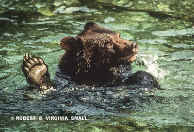 A GRIZZLY TAKING A COOLING DIP ON A WARM DAY