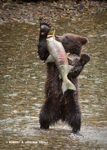 GRIZZLY CUB SHOWING ITS CATCH OF THE DAY