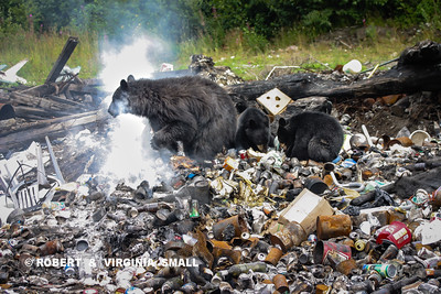DOOMED BEARS.  THIS BLACK BEAR SOW AND HER TWO SPRING CUBS FORAGING IN A SMALL TOWN DUMP, EVEN AS A FIRE SMOLDERS BENEATH THE TRASH.  HOWEVER, IT ISN'T THE FIRE THAT WILL DESTROY THEM - THE POOR DIET AND ADAPTATION TO HUMANS WILL EVENTUALLY RESULT IN THEIR UNTIMELY DEATH . . .ONE WAY OR ANOTHER . . .