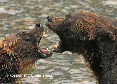 GRIZZLY PAIR COURTING - First Place Winner, Third Annual Bear Festival, Stewart BC