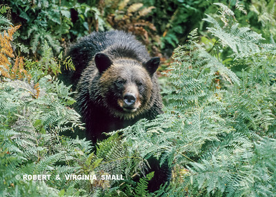 SUDDENLY, A LARGE GRIZZLY CAME INTO VIEW THROUGH THE FERNS . . .